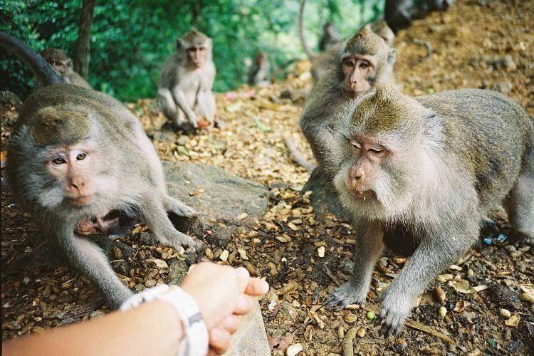 Hutan Pusuk Monyet Biberi Makan, src flickr.com