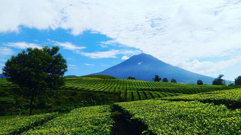 Kayu Aro Jambi. Sumber: instagram.com. Kebun Teh di Indonesia